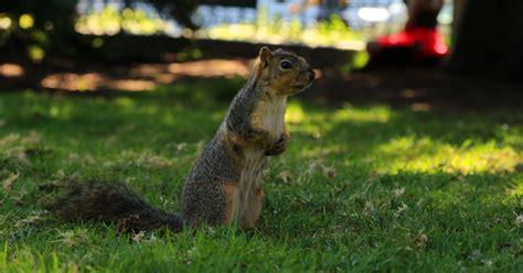 blackout  california  squirrel