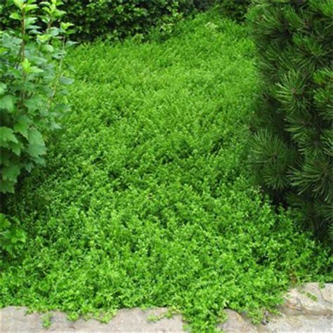low growing ground cover low fast growing ground cover pic2fly low growing sedum memes