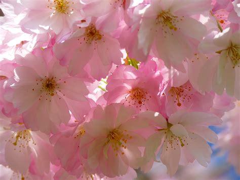 Free Images : tree branch flower petal bloom pink