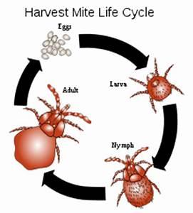 Mites Alimentaires Cycle De Reproduction : mite wikipedia ~ Dailycaller-alerts.com Idées de Décoration