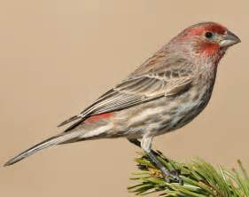 house finch song house finch songs and calls larkwire