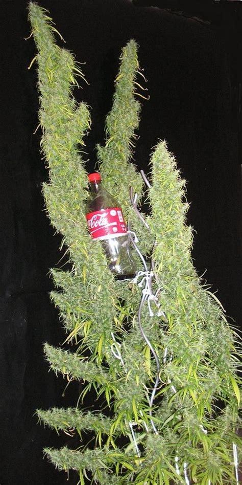 cultiver du cannabis en interieur cannabis indica ruderalis et vari 233 t 233 s hybrides du growshop alchimia