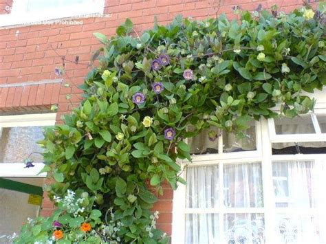 cathedral bells vine plantfiles pictures cathedral bells cup and saucer vine cobaea scandens by alrac