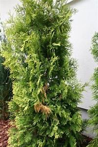 Thuja Smaragd Braun : koniferen werden braun koniferen werden innen au en braun ~ Lizthompson.info Haus und Dekorationen