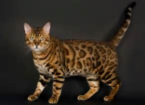 cat breeds az cat breeds cat breed selector a z mypetzilla