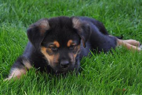 a german shepherd rottweiler mix isn t for everyone
