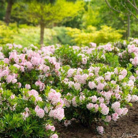 Garten Pflanzen Flensburg by Rhododendron Nugget By Bloombux 174 Der Bl 252 Hende