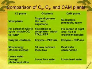 c4 and cam plants essay The main advantage of cam photosynthesis is that it allows only minimal water loss during hot, dry days this type of photosynthesis is commonly found in desert plants.
