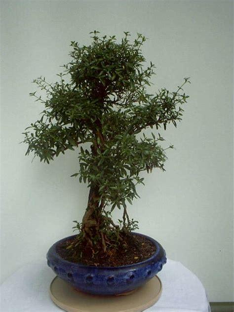 Schneiden Carmensbonsaigarten Onlineshop Für Bonsai