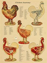 Best internal anatomy ideas and images on bing find what youll love chicken internal anatomy ccuart Choice Image