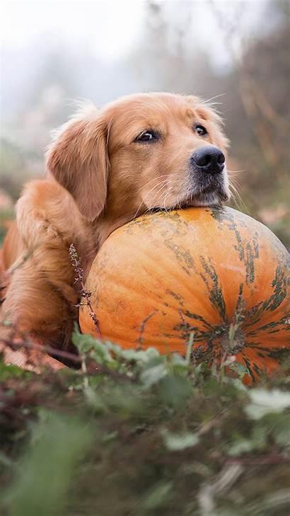 Dog Retriever Golden Pumpkin Mobile Pet 4k