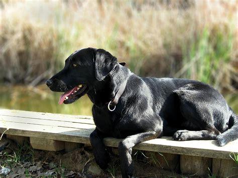 Labrador Retriever Dog  Characteristics, Temperament And