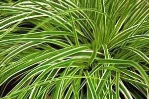 Gräser Für Steingarten : carex oshimensis everest segge gr ser pflanzen ~ Michelbontemps.com Haus und Dekorationen