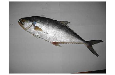 foodista recipes cooking tips  food news surmai fish