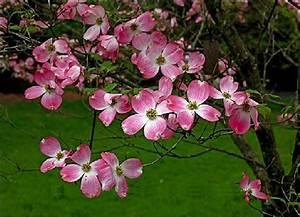 Cornus Florida Rubra : cornus florida rubra pink dogwood tree blerick trees buy online trees advanced trees ~ Frokenaadalensverden.com Haus und Dekorationen