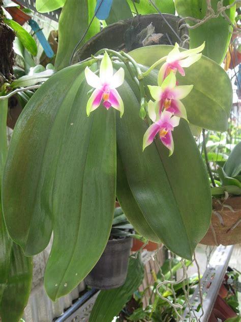 reblooming orchids phalaenopsis phalaenopsis bellina