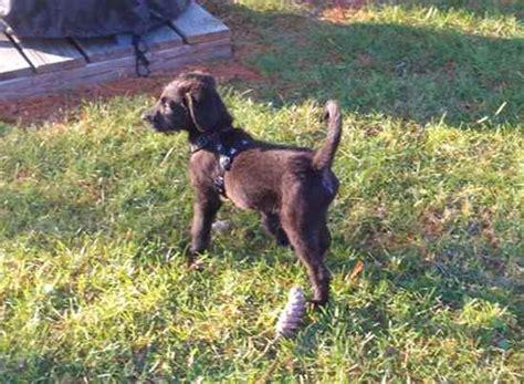 purebred belgian malinois dog training shedding grooming