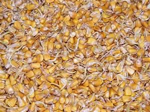 StillCooker | Malting corn for Moonshine