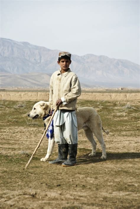 alabai images  pinterest sheep dogs shepherd