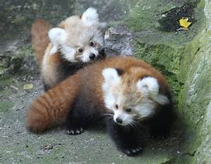 Tierpark Zoo Presents Twin Baby Red Pandas