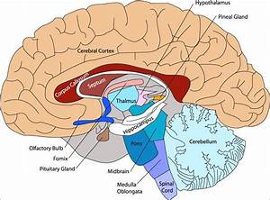 Brain Clipart Anatomy  Brain Anatomy Transparent Free For