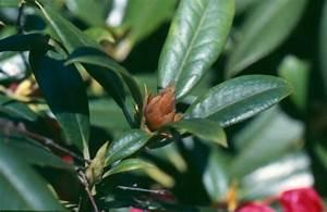 Rhododendron Braune Blätter : rhododendren sch dlinge krankheiten und vergilbungen lfl ~ Lizthompson.info Haus und Dekorationen