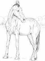 Horses Coloring Horse Marwari Kolorowanki Mare Miniature Druku Klacz Konie Template Supermalvorlagen sketch template