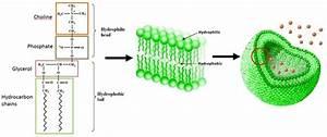 Lipid Bilayer Structure  A  Molecular Composition Of