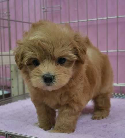 Quality Local Puppies For Sale For Sale Adoption In Singapore Adpost Com Cl Ifieds
