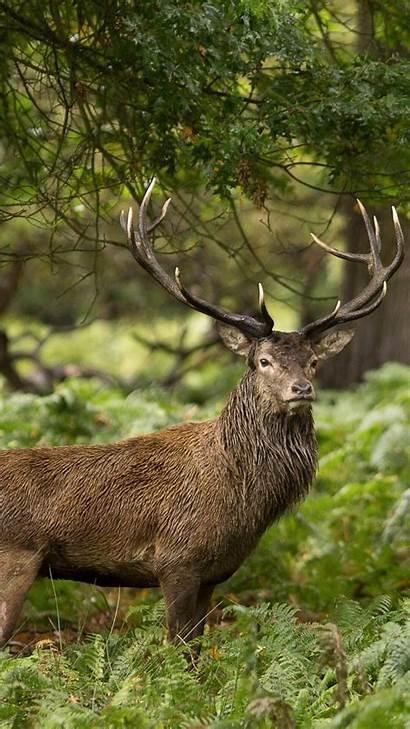 Wild Animals Animal Forest Deer Phone Mobile