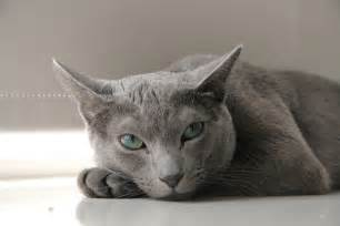 russian blue cat personality russian blue temperament and personality russian blue