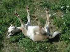 Image result for fainting goats