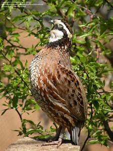 Bird Pictures: Northern Bobwhite, Bobwhite Quail (Colinus ...