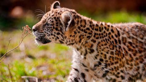 Wallpaper Leopard cub eyes grass walk Animals #935
