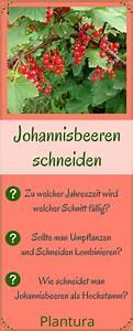 Wann Johannisbeeren Pflanzen : johannisbeeren schneiden anleitung tipps vom profi jardinagem johannisbeere schneiden ~ Orissabook.com Haus und Dekorationen