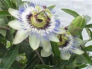 Pflege Passionsblume Zurückschneiden : passionsblume passiflora berwintern pflege standort ~ Lizthompson.info Haus und Dekorationen