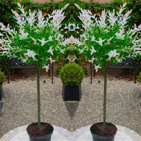Pair Of Standard Topiary Trees 'salix Flamingo' With Large