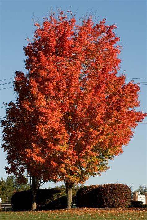 maple tree acer saccharum sugar maple