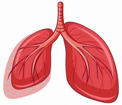 Humano Lung Lungs Lunge Pulmones Poumon Humain