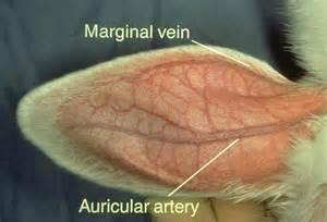 buck and doe heart animal veterinary science 113 gt rash gt flashcards gt avs