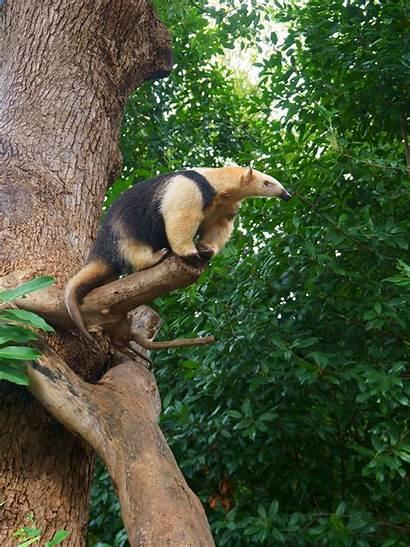 Southern Tamandua Critterfacts