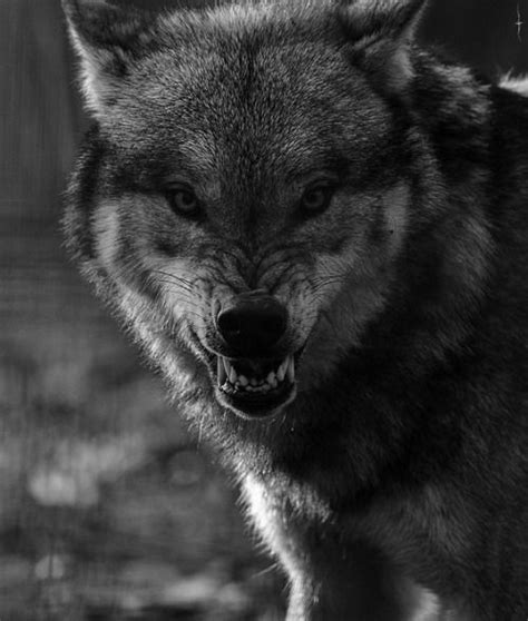 Angry Lone Wolf Wallpaper by Angry Wolves Search Tattoos