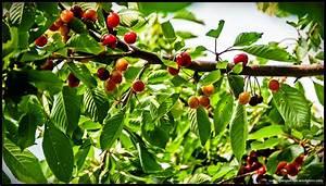 Kiesflächen Im Garten : kirschbaum mit meinem garten durchs jahr ~ Markanthonyermac.com Haus und Dekorationen