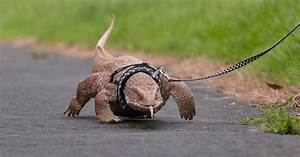 Monitor Lizard On A Leash – Reptile Gallery