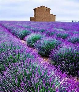 Lavendel Pflanzen Balkon : die besten 25 lavendel schneiden ideen auf pinterest ~ Lizthompson.info Haus und Dekorationen