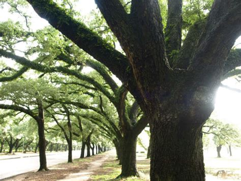 cover   oaks exposed roots houston