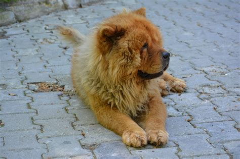 lion dog breed   quiet mate  pictures