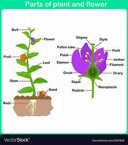 Leaning Parts Of Plant And Flower For Kids Vector Image