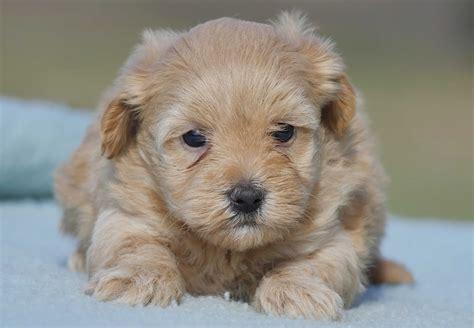 Moodle Puppies For Sale Chevromist Kennels