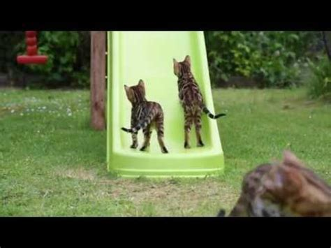 watching  bengal kittens play     add